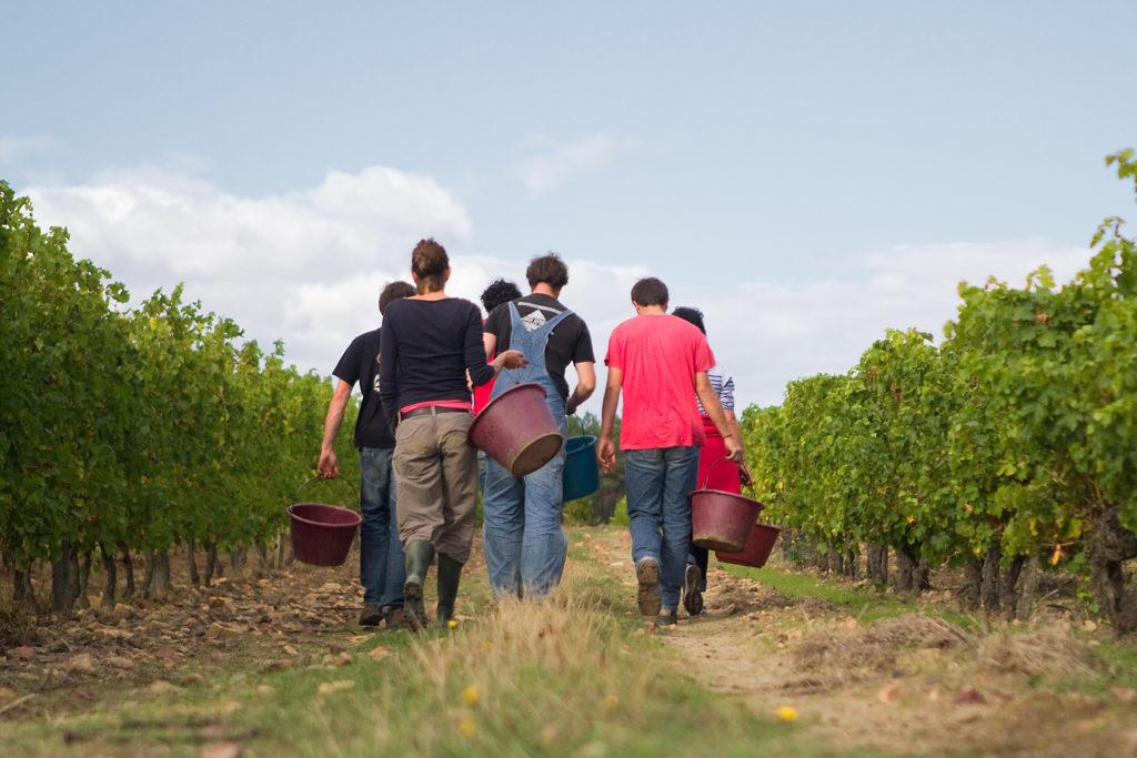Vendanges au domaine viticole Ampelidae (Neuville-de-Poitou)